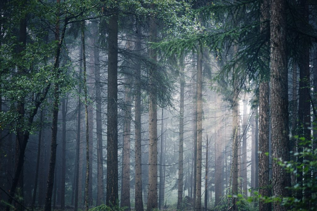 forest, trees, fog